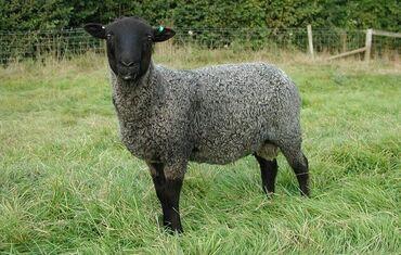 Продаю | Овца (самка), Баран (самец) | Романовская | На забой, Для разведения, Для шерсти | Племенные, Осеменитель
