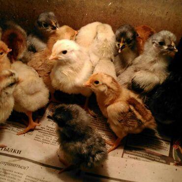 Цыплята разнопородные домашние