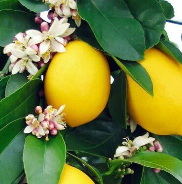 Meyer limon sortu.Bakıyada sifarişler çatdırılır.Dibçekde