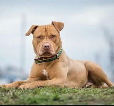 Heyvanlar - Şirvan: Amerikan Pitbull Terers temiz qandir.Senedleri var.Peyvendler ve qurd