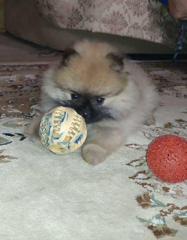 Животные - Кыргызстан: Продаются щенки Померанский шпиц, малыши, мальчик и, 2 месяца, все