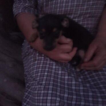 той терьер девочка в Кыргызстан: Продаю щенков русский той терьер 2 девочки и мальчик