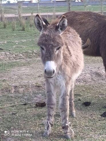 Другие животные - Кыргызстан: Эшек 1 жашта жоош по вопросам звонить или писать на номер ватцап