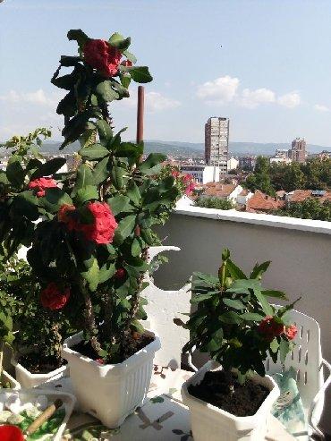 Kućne biljke | Srbija: Hristov trn, cveta preko cele godine, cena od 400-800 din, velika