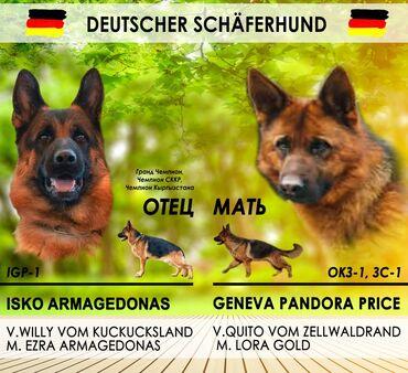 Животные - Ленинское: Продаются щенки немецкой овчарки
