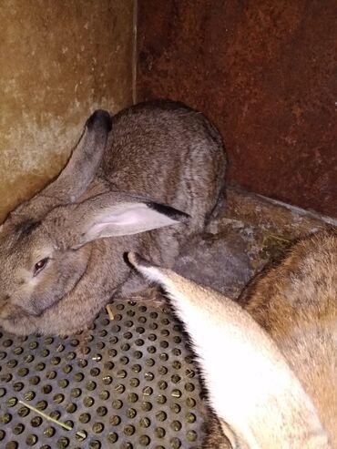 Животные - Новопавловка: Продаю | Крольчиха (самка) | Фландр | На забой, Для разведения | Племенные