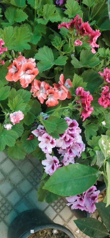 Комнатные растения - Кыргызстан: Пеларгонии, оптом и в розницу. 5 расцветки есть