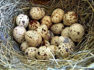 - Azərbaycan: Bildircin yumurtasi satilir 0.1 azn . Yumurtalar mayalidir