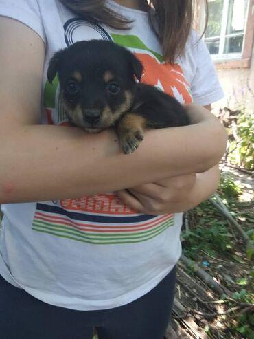 Находки, отдам даром - Арашан: Милые щеночки ищут доброго хозяина