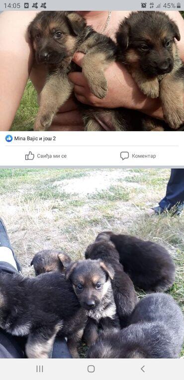 Kućni ljubimci - Srbija: Na prodaji stenci nemackog ovcara od kvalitetnih roditelja. Ocisceni
