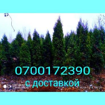 Туяколоновидная рост 1м и выше до 3,2 метров
