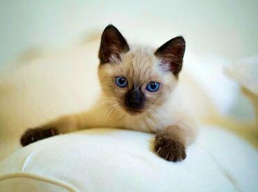 Животные - Заречное: Продаю сиамских котят.Не дорого.Все вопросы по телефону.Торг уместен