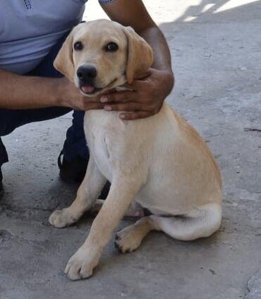 İtlər - Bakı: Labrador 3 ay yarimdi erkey moskvadan gelıb isdeyenler elage saxlasin