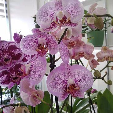 продам тойота марк 2 бишкек в Кыргызстан: В наличии орхидеи высокие с отличной корневой, крупным цветком