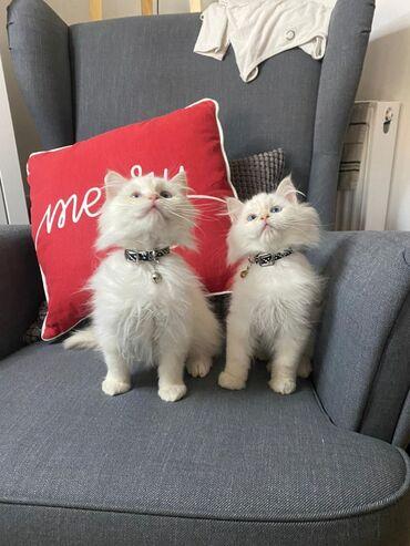 Rogdoll γατάκια προς πώληση Άνδρας και γυναίκα 11 εβδομάδων τώρα με