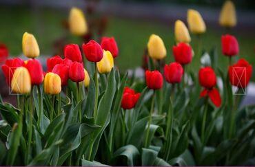 Семена и уличные растения - Кыргызстан: Луковицы тюльпанов на выгонку. Красные и желтые
