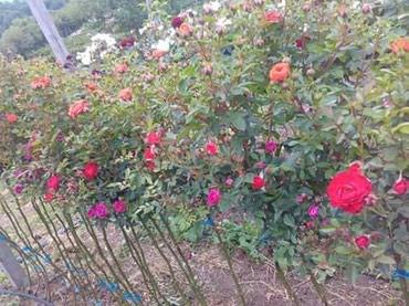 Najlepše trobojne , dvobojne sadnice ruža stablašica za samo 700 - Belgrade