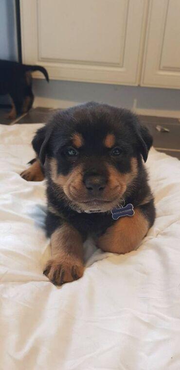 Γοητευτικά κουτάβια Rottweiler έτοιμαΑπολύτως γοητευτικό ντακούντ, με