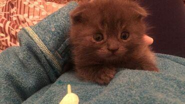 Продаю шотландских котят Самые сладкие детки от чистокровных родителей