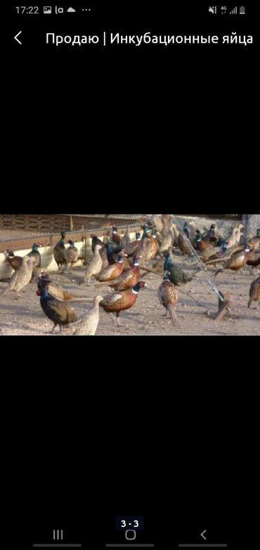 Заказать кфс в бишкеке - Кыргызстан: Принимаю заказы на инкубационные яйца фазанов на апрель май июнь а так