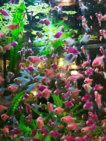 Яркие рыбки аквариумные в Сокулук