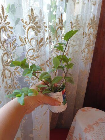 Традесканция - вечнозеленое растение, чистит воздух, заживляет раны