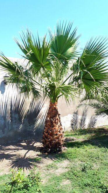 Palma agaci Stobu - 2 metr Qanadlari - 2 metr Qiymet - 3000 manat