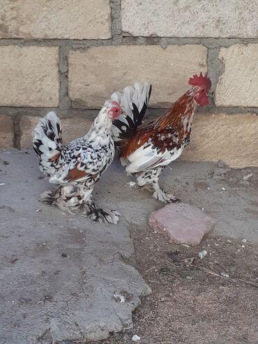 yaponkalar - Azərbaycan: Lelek papiwdi yaponkalar ikisinde papiwi yekedi fere tamam yeke
