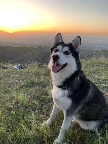 пропала собака хаски в Кыргызстан: Пожалуйста обратите внимание! Нам очень нужна ваша помощь!  Пропала со