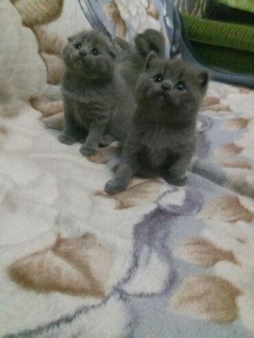 Продаются шотландские котята скотиш страйт окрас голубой чистокровные
