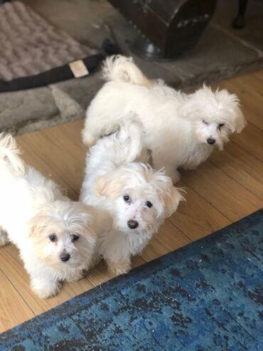 Για σκύλους - Αθήνα: Super adorable Teacup Maltese Puppies. So gentle and affectionate. I