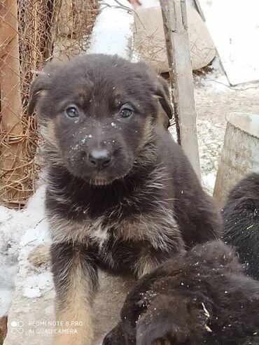 платье рубашка лен в Кыргызстан: Продаются щенки немецкой овчарки . Родились 5 октября . Мама- в чёрном