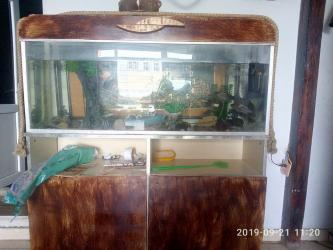 filtir - Azərbaycan: Ela akvariumdur, uzunluqu 1.30 eni 30sm, Icinde baliqlar, su