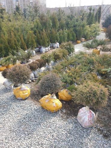 Продажа декоративных деревьев в Лебединовка