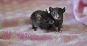Декоративные крысы.Дружелюбные, ручные. Возраст 5 недель5 мальчиков и
