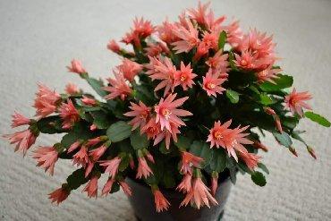 Semena | Arandjelovac: Najlepši zimski cvet: Cveta za Božić, lak za