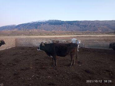 35 объявлений   ЖИВОТНЫЕ: Продаю   Корова (самка)   Алатауская   Для разведения