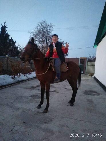 brilliance v5 16 at в Кыргызстан: Satylat tez arada kuluk at