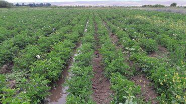 Животные - Раздольное: 1 гектар картошка Музоолу уйларга алмашам