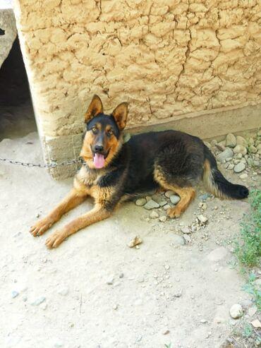 164 объявлений   ЖИВОТНЫЕ: Продаю немецкую собаку 9месячный мальчик все прививки получил документ