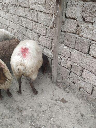 qoyunlar - Azərbaycan: Qoyunlar yaxsi iri cavan qoyundur ikiside balalidi teze olublar yaxsi