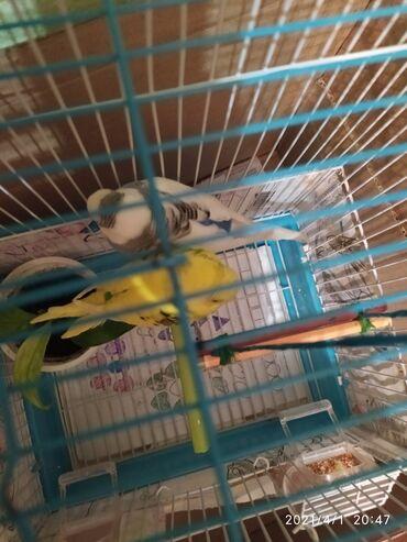 Продаю попугайчиков. Мальчик и девочка
