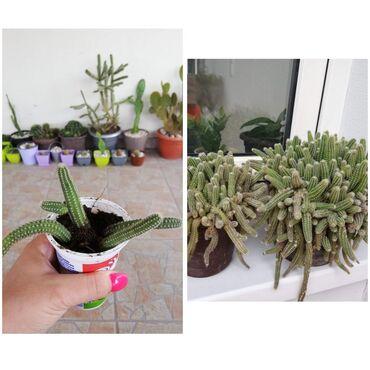 KaktusiSalju se bez saksijeLevo slika kako sada izgledaju a desno kako