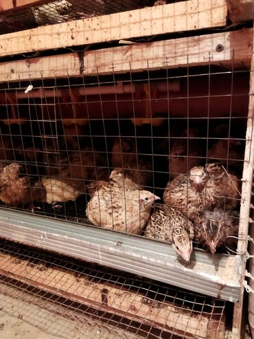 Животные - Бишкек: Продаются перепёлки с бредером несутся порода Техас и. Феникс 70шт