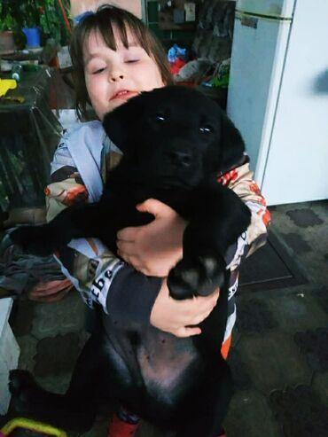 Лабрадор 2.5 месяца мальчик в хорошие руки с отличной родословной