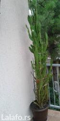 Ostalo za kuću | Nova Pazova: Prodajem kaktuse sa slika za dekor soba i lokala, sa prve slike kaktus