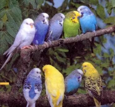 волнистые попугаи размножение в Кыргызстан: Волнистые попугаи