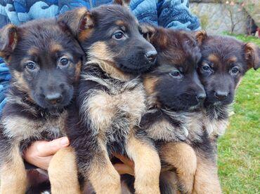 Kućni ljubimci - Srbija: Na prodaju štenci nemačkog ovcara, četiri zenke stare mesec ipo dana