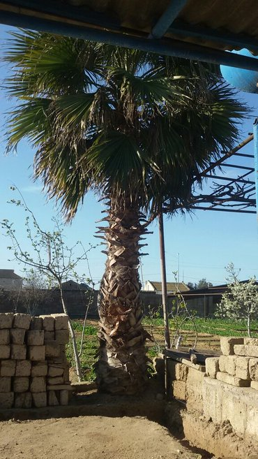 Şəkildə gördüyünüz vaşinqton palma ağacı satılır 15 16 yaşı var köt