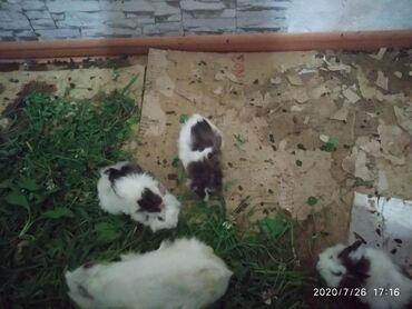 Морские свинки - Кыргызстан: Продаю морских свинок 300 сом